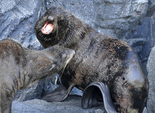 Two northern fur seals that arrived from New York Aquarium two weeks ago are trained at Mystic Aquarium Thursday. Here the two play fight.