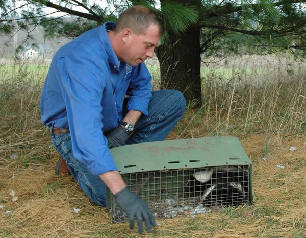 Gregg Schumaker, owner of Wildlife Management and Pest Removal, tries to agitate a skunk he had trapped the previous night.
