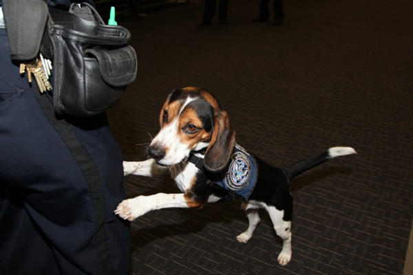 Skipper is working as a federal detection dog at the airport in San Francisco.