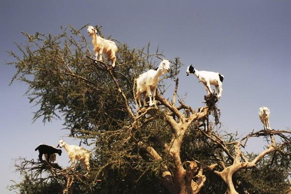 This image of goats in a tree was captured in Morocco.