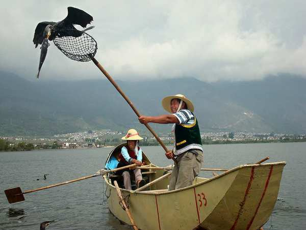 A cormorant holding a fish perches on the end of a net, handled by fisherman Yang Yi Zhu. Fishermen on Erhai Lake use these trained birds to catch fish, a tradition passed from generation to generation.