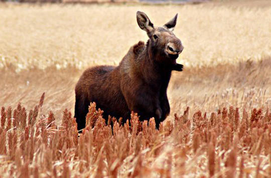 Moose spotted near Bowdle
