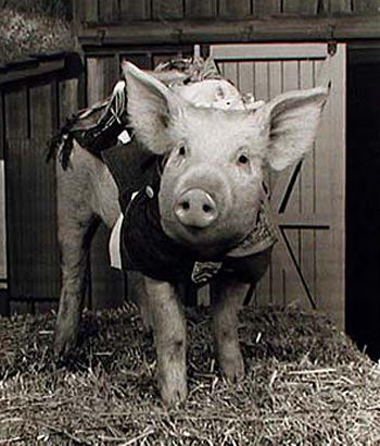 "<b>Arnold the Pig, a.k.a. Arnold Ziffel from ""Green Acres""</b><br> <br> One of the most famous TV pigs, Arnold provided the majority of laughs on the rural 1965-71 CBS TV series starring Eddie Albert and Eva Gabor. Arnold could change channels on a TV set, drink through a straw, deliver letters and newspapers, and even play cricket. Numerous female pigs, all pedigree Chester Whites, were trained by Frank Inn for the role of Arnold. Though females don't grow as quickly as males, an adult sow could reach 900 pounds by the age of 2. During the show's run, Arnold received thousands of fan letters, received awards and guest-starred on such TV shows as ""What's My Line?"" and ""The Joey Bishop Show.""<br> <br> When the original Arnold died, Inn had her cremated and her ashes placed in an urn. When Inn died, the urn was placed in his casket and buried with him, per the trainer's wishes."