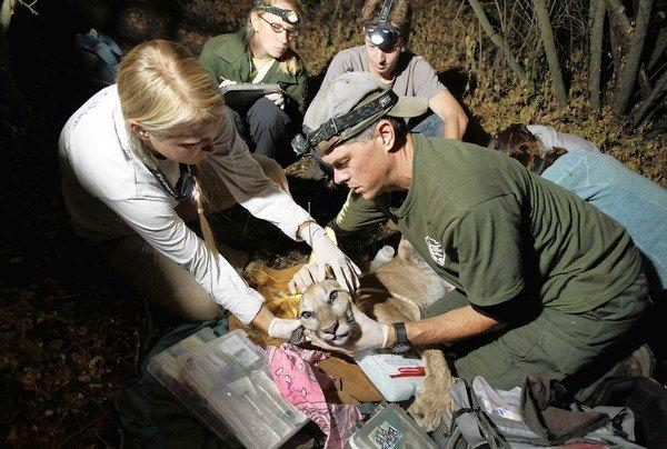 National Park Service wildlife biologist Jeff Sikich, right, and his team secure an expandable GPS collar to a tranquilized young female mountain lion named P-25, captured in the Santa Monica mountains, in August so she could be tracked and studied. But the cougar was found dead by hikers in Point Mugu State Park in late October.