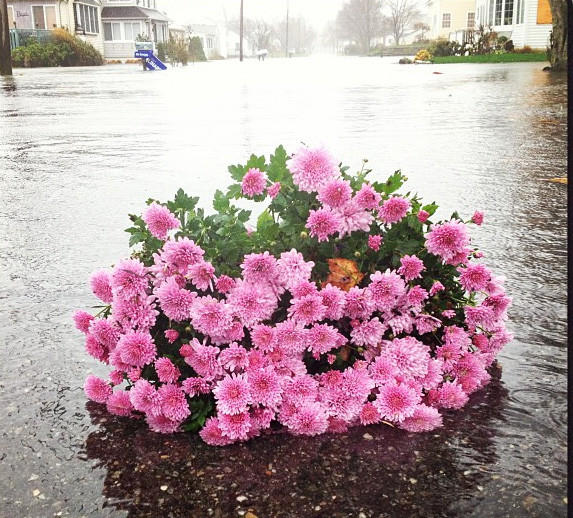 A pot of mums floats down Mohican Trail near Indiantown Beach, Old Saybrook.