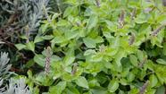 "For most gardeners, basil is a wonderful harbinger of summer, but in <span class=""runtimeTopic"">India</span> a variety known as holy basil, or <em>tulsi</em> (<em>Ocimum tenuiflorum</em>), is grown year-round."
