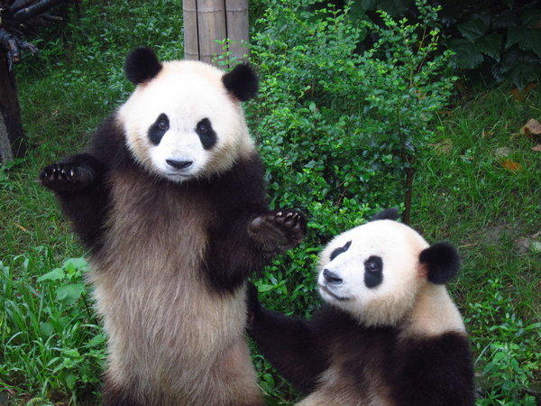 Daisy Chaussee photographed this panda, who is apparently confused by something, at a panda research center in Chengdu.