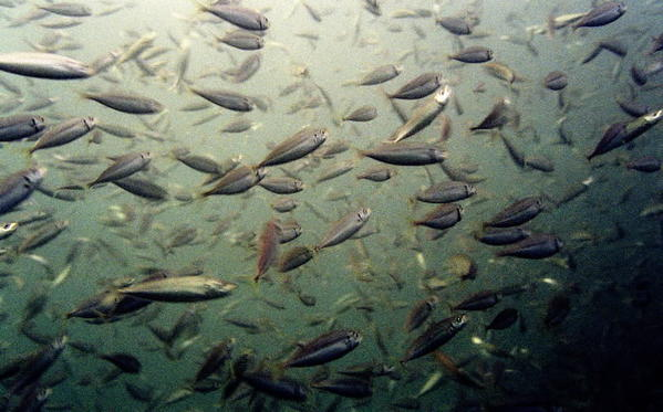 Tropical Storm Sandy forces cancellation of Tuesday hearing in Easton on proposed reductions in commercial catch of Atlantic menhaden.