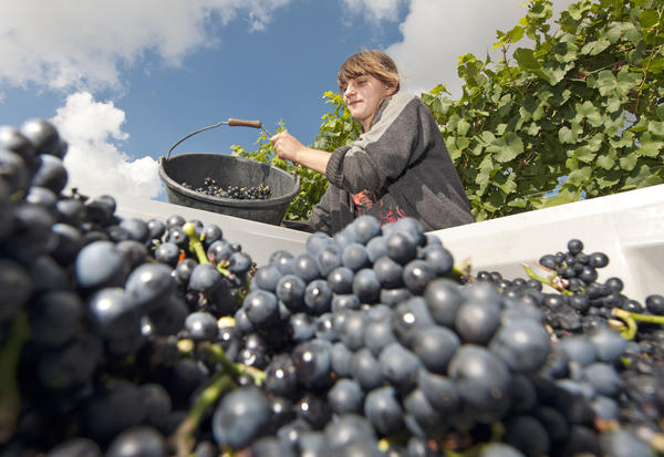 Wine production to reach a 37-year low this year