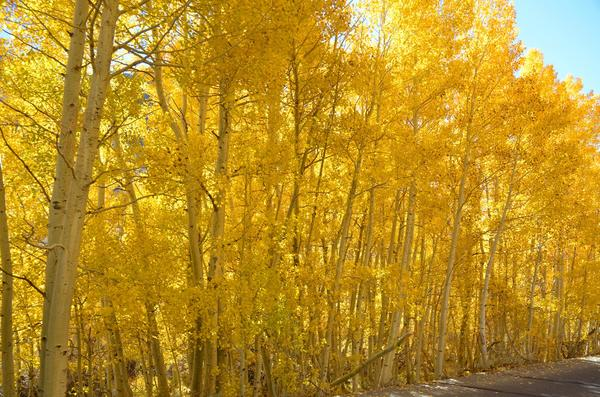 An aspen grove lights up the area around South Lake. Higher elevations like this have peaked, but the stretch along California 168 still offers vibrant fall colors.