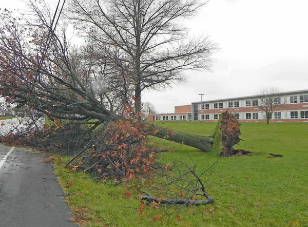 This huge tree was uprooted by Sandy and toppled onto power lines Monday night in front of the James Buchanan Middle School near Mercersburg, Pa.