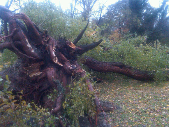 Osage orange felled by storm in Druid  Hill Park