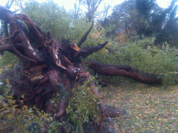 City champion Osage orange in Druid Hill Park, the largest in Baltimore and believed to be nearly 400 years old, fell Monday.