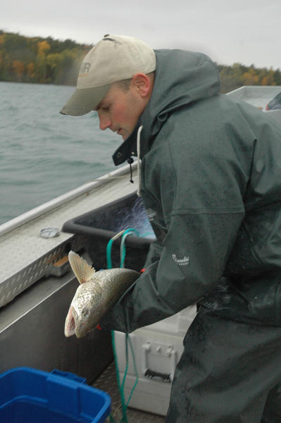Nathan Skop, fisheries technician with the Michigan Department of Natural Resources, places a lake trout netted from Elk Lake into a container of water to be tagged, photographed and released.
