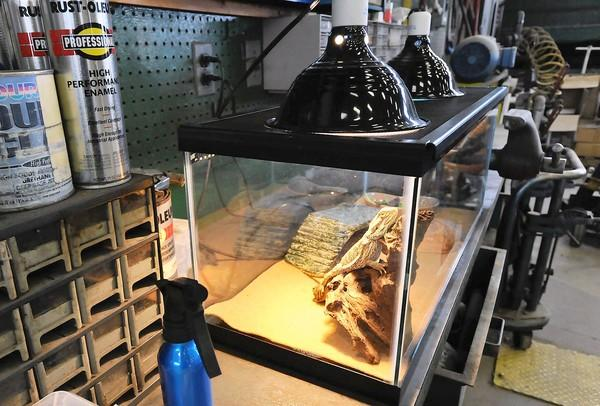Steve, a lizard, stays warm under heat lamps at a Hurricane Sandy emergency pet shelter in Bethlehem run by the Lehigh Valley County Animal Response Team.