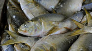 Groups disagree on menhaden commercial catch limits