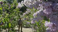 Lilacs, sweetly scented and bred for left coast landscapes