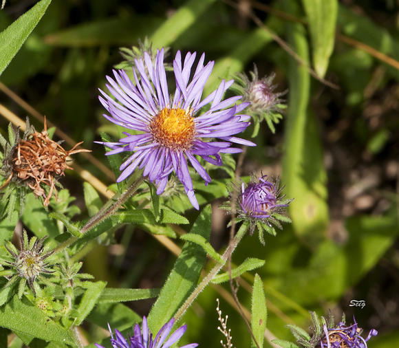 Fall-flowering New York Aster (Symphyotrichum novi-belgii)