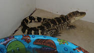 Alligator seized from an alleged Jessup gang member's home