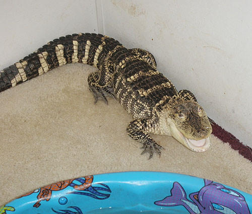 Three-foot American Alligator