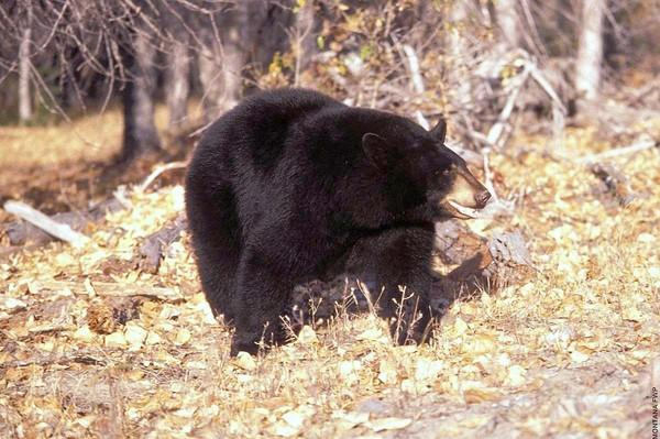 Pennsylvania's black bear hunting seasons begin Nov. 14 with the start of a special, two-day archery hunt in some Wildlife Management Units. The regular, statewide firearms hunt will be held Nov. 19-21. Last year, Pennsylvania hunters killed 3,122 bears, including 11 that weighed 600 pounds or more.