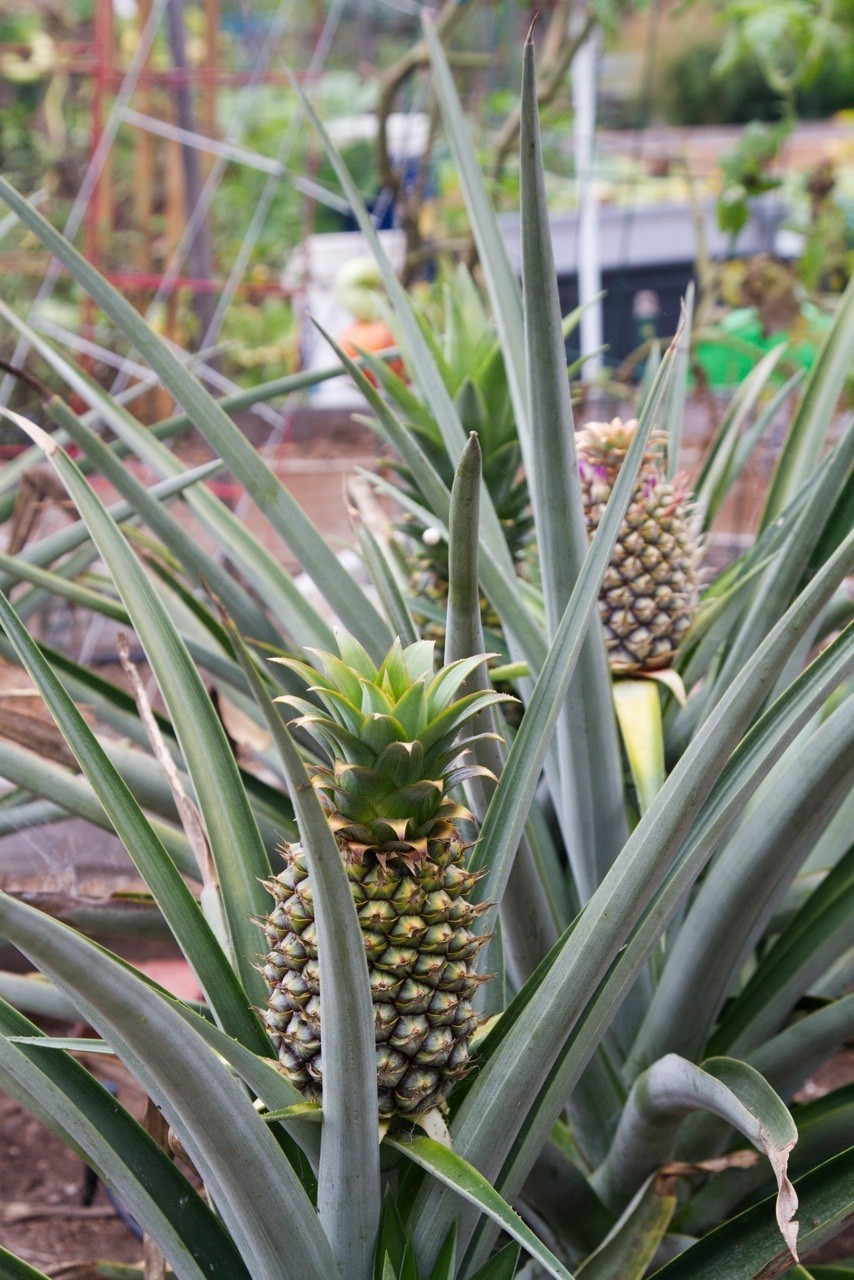 Pineapple, a touch of the tropics in L.A. - Hawaii, by way of L.A.