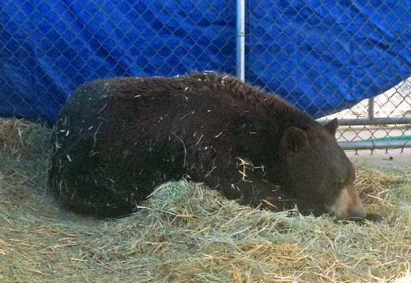 With $145,000 still left to raise for Meatball the bear's permanent enclosure, operators of the San Diego County sanctuary are auctioning off tufts of his hair, his wildlife ear tags and even a paint paw print on EBay.