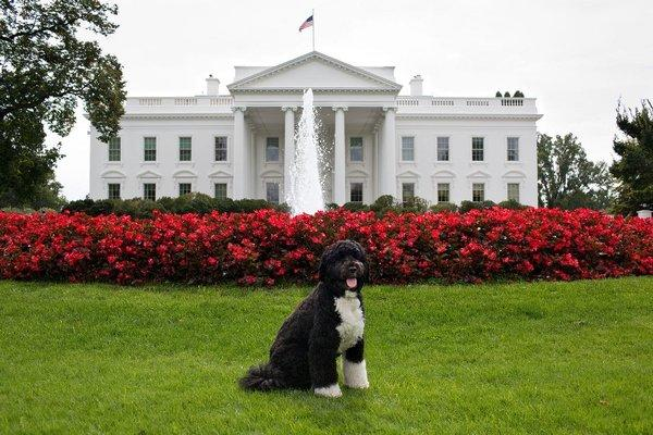 The Obamas' dog, Bo, poses for his official portrait on the North Lawn of the White House.
