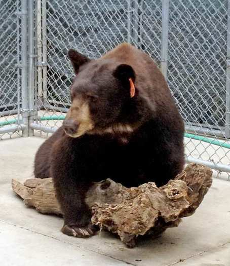 Meatball the bear in his temporary enclosure at the sanctuary in San Diego County.