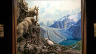 One of the many famous dioramas offered by the American Museum of Natural History