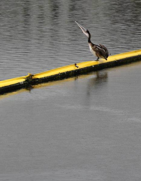 A pelican dines atop a trash boom in Ballona Creek near Marina del Rey. Urban runoff is the leading cause of water pollution in Southern California.