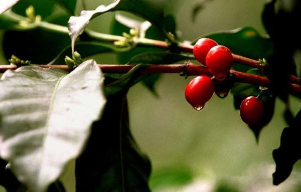 A coffee plant grows in Mexico.  Climate change may threaten indigenous Arabica plants, scientists said this week.