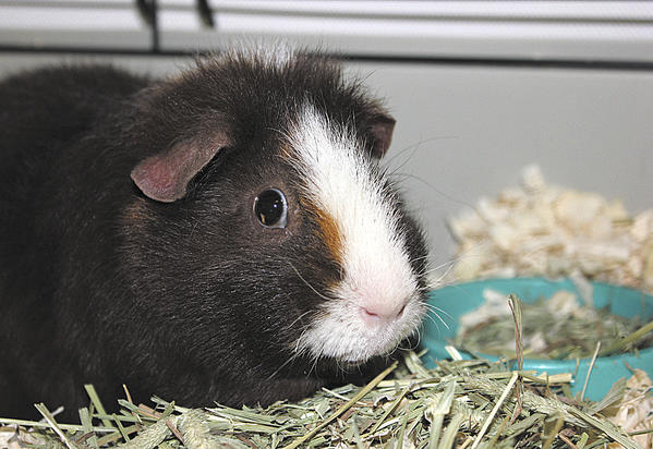 Jacky, a guinea pig, is available for adoption from the Humane Society of Washington County.