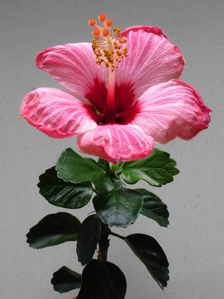 Tropical hibiscus plants have frilly flowers about 3 inches across and glossy green leaves. They should be brought indoors when temperatures reach 40 degrees.