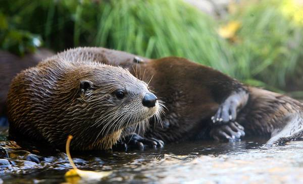 Efforts in Illinois to preserve the river otter, once an endangered animal in the state, have been so successful that officials will allow it to be trapped this season for the first time in 83 years.