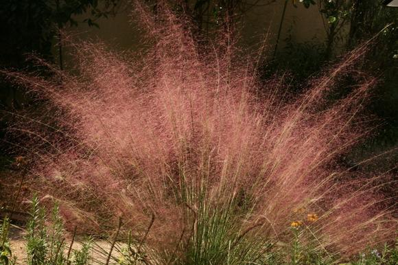 Purple muhly grass features eye-catching purplish-pink plumes.