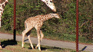 Pictures: Another baby giraffe at Dickerson Park Zoo