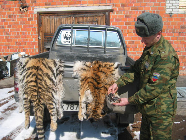 A Russian customs officer inspects the skins of two tiger cubs seized from smugglers at the Russian-Chinese border earlier this year.