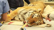 Photos: Amur Tigers Artificial Insemination