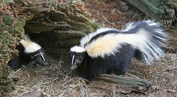 A skunk shorted out a Fox News station after soaking the transmitter with its spray and causing a breaker to trip.