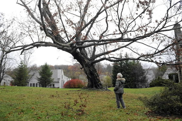 American beech in northwest Baltimore backyard was city's champion and the fourth largest in Maryland. Its leaning trunk was hollowed out by rot, though, so owner Mary Azrael, seen here waiting for tree crew, reluctantly decided to cut it down for safety reasons.