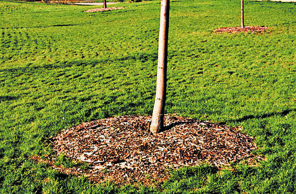 Keep mulch a few inches away from a tree's bark.