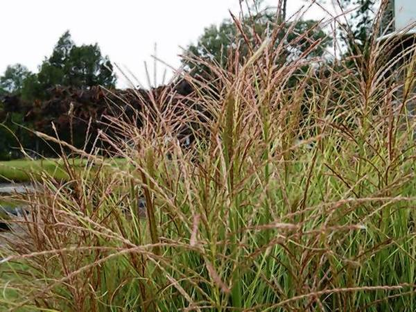 Morning Light miscanthus sinensis is an eye-catching grass in any yard with full sun.