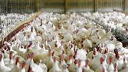 Fulton's Maple Lawn Farms provides farm-fresh Thanksgiving turkeys