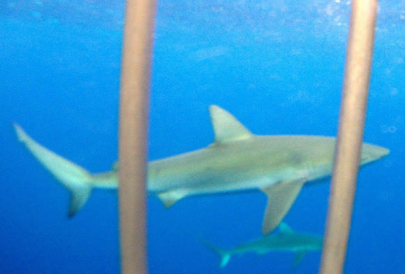 Travel to Hawaii -- shark cage diving