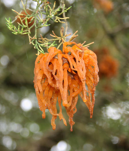Cedar-apple rust is a fascinating, eye-catching fungus growth.