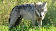 Wolf a game species? Legislation introduced to Michigan Senate
