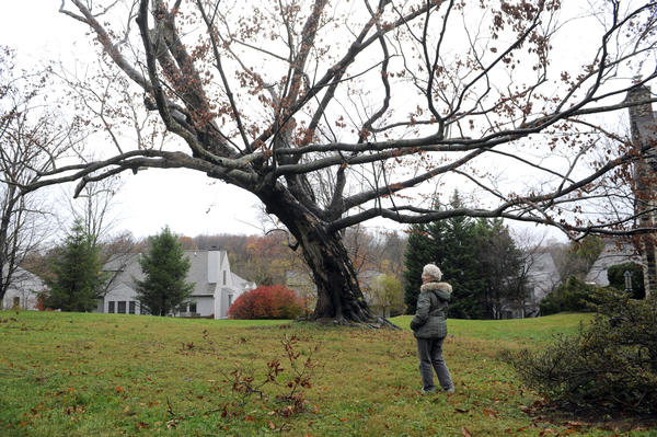 A champion American Beech tree, the largest in the city, is scheduled to be cut down today because the trunk is rotted and the tree is dying. Here, Mary Azrael of Mount Washington stands near the tree, which is on her property.