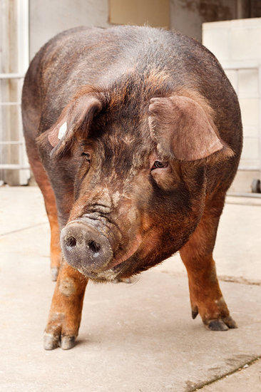 Scientists have assembled the genome of a Duroc sow, learning a great deal about the evolution of the domestic pig -- and what it has in common with people.