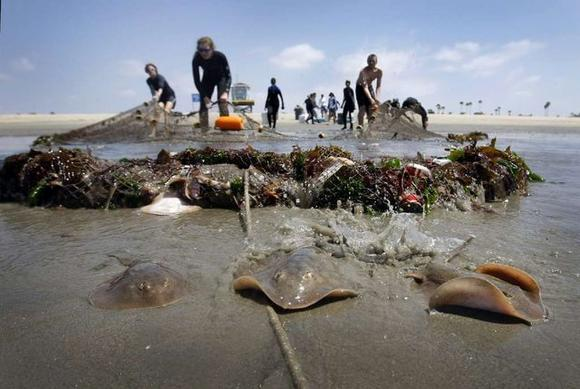 Stingrays are pulled ashore in a fishing net in Seal Beach.